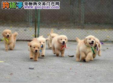 正规狗场,纯种金毛三月龄公母全有 实行三包