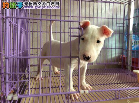 出售精品牛头梗幼犬 公母均有多条可选