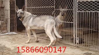 纯种狼青犬多少钱,狼青犬市场价格