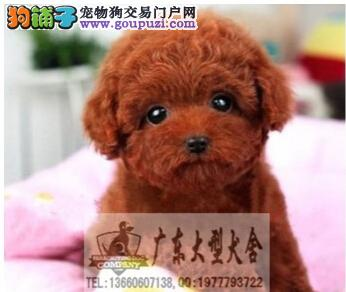 广东大型养狗基地 贵宾犬 广州哪个地方有卖贵宾犬