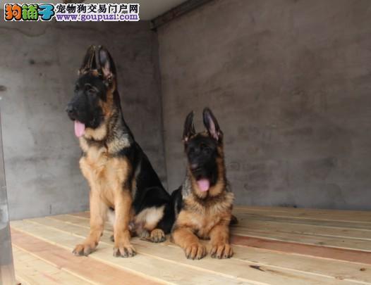 顶级优秀的纯种昆明犬热销中国际血统认证