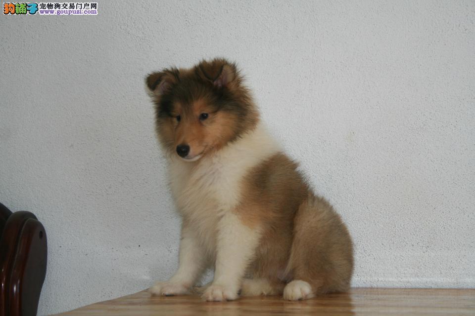CKU血统认证 顶级苏牧幼犬待售中 包纯包健康