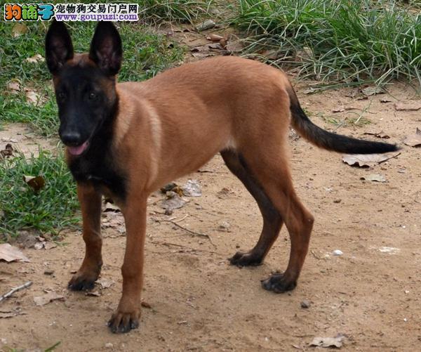 杭州大型犬舍低价热卖极品马犬保证冠军级血统