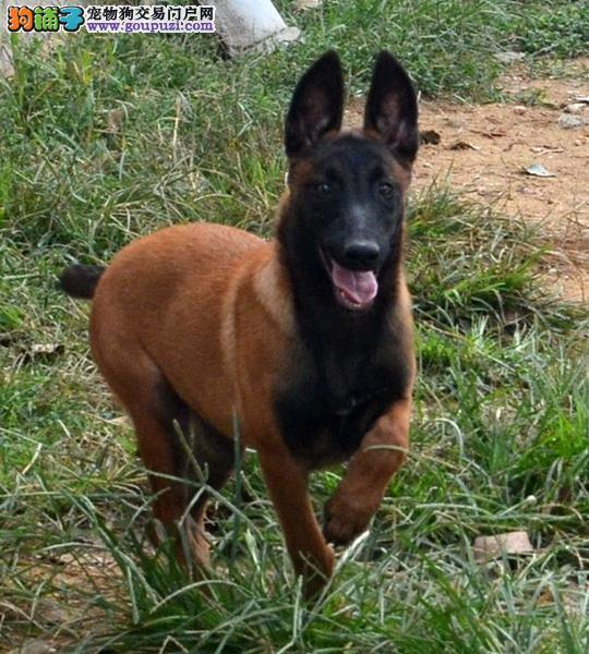 CKU犬舍认证出售高品质马犬签订协议包细小犬瘟热