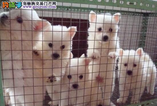 杭州哪里有卖宠物狗纯种银狐犬多少钱纯种银狐犬图片