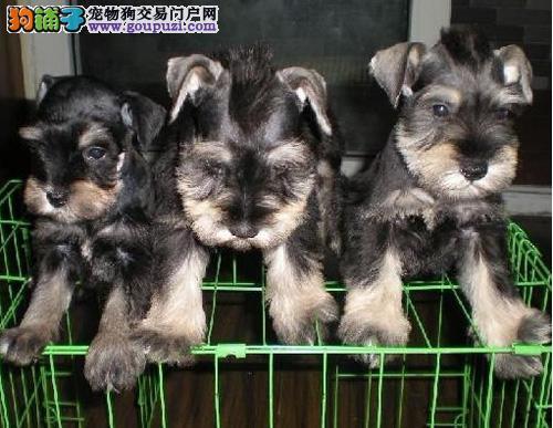 广州买纯种雪纳瑞去哪里买 广州纯种雪纳瑞多少钱