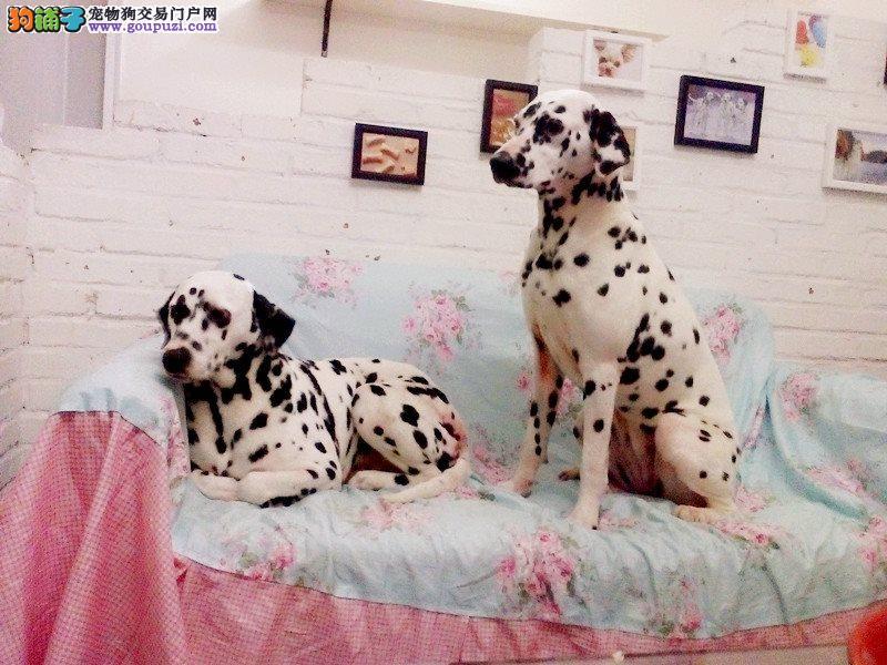纯种斑点犬 2个月三个月 品质保证
