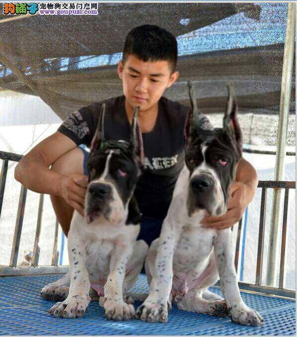 杭州CKU认证犬舍出售高品质大丹犬终身售后送货