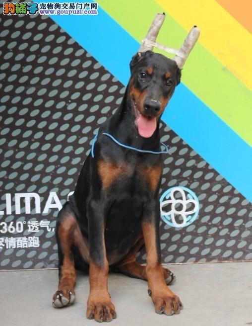 杜宾犬幼崽出售中,假一赔十纯度第一,购犬可签协议