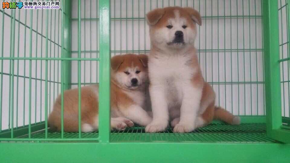 纯种日系美系秋田幼犬待售 多只可选 公母均有