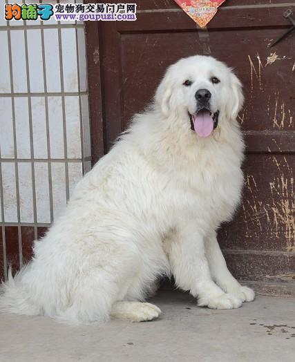 赛级大白熊幼犬待售 高品质 保纯保健康