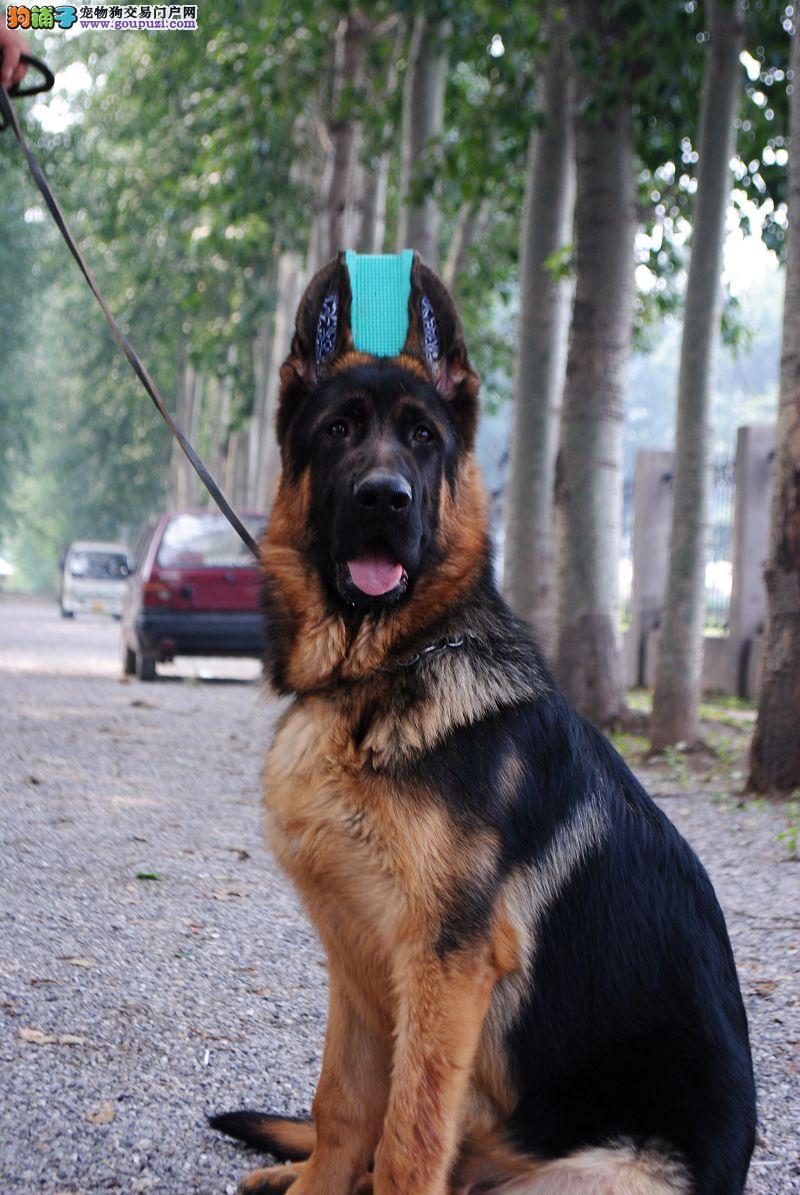 完美品相血统纯正昆明犬出售CKU认证绝对信誉保障