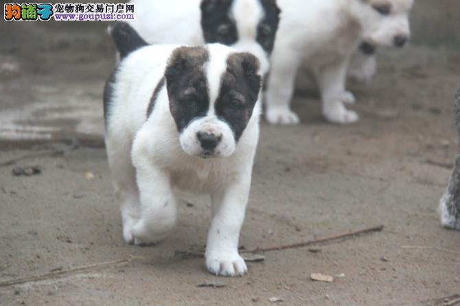 养殖场直销完美品相的中亚牧羊犬质量三包多窝可选