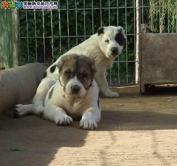 热卖中亚牧羊犬宝宝,品质第一价位最低,全国送货上门