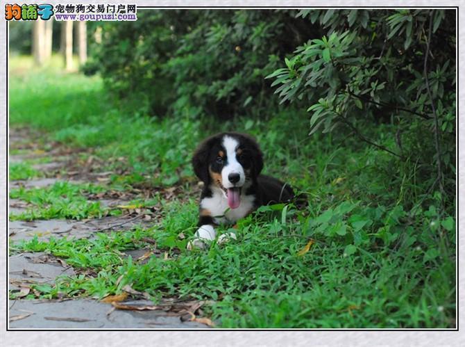 伯恩山犬:和谐文雅与震撼力的结合