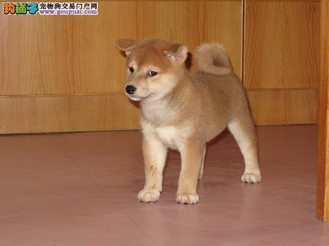 高品质的重庆柴犬找爸爸妈妈期待您的光临