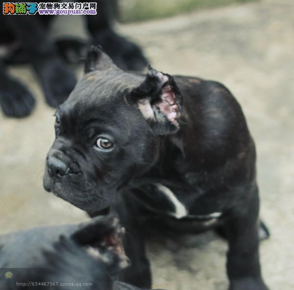 出售多种颜色西安纯种卡斯罗犬幼犬带血统证书签活体协议