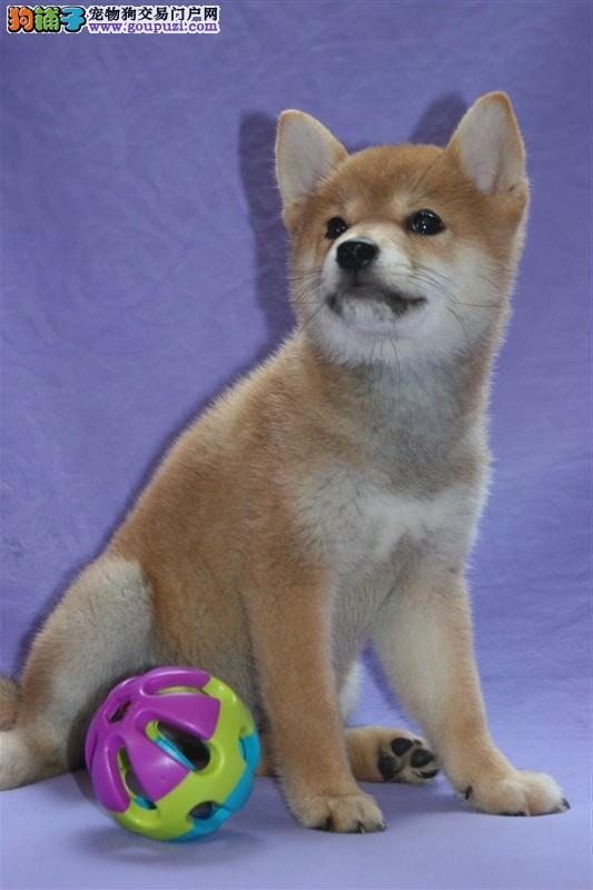 日本引进纯种日系柴犬宝宝出售,2 4个月的均有