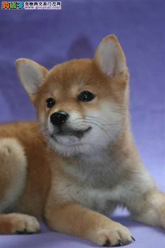 正宗日系小柴犬,多只可选,签合同包健康三个月