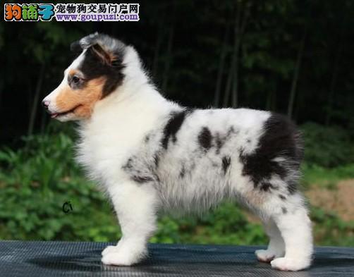 专业繁殖 纯种喜乐蒂幼犬宝宝 健康 品质 保证