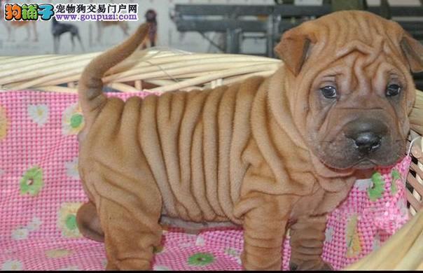 西安出售极品沙皮狗幼犬完美品相我们承诺售后三包