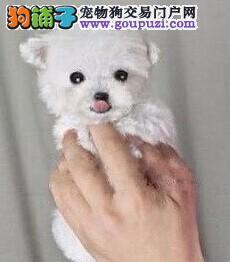 韩系茶杯犬娃娃脸泰迪犬口袋茶杯泰迪熊狗超小体