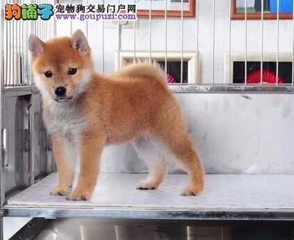 柴犬南京最大的正规犬舍完美售后送用品送狗粮