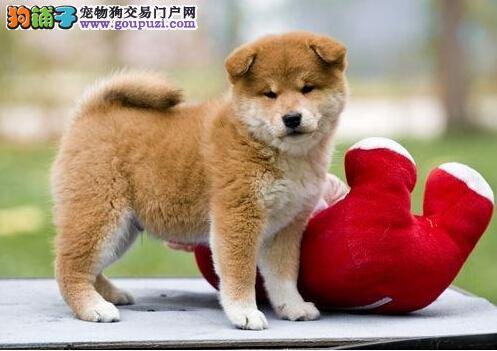 出售顶级健康一公一母纯血统日本柴犬货真价实
