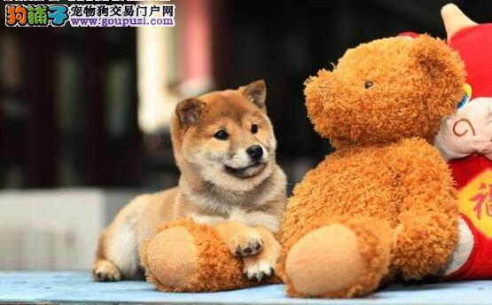 CKU专业犬舍出售柴犬 包犬瘟 细小