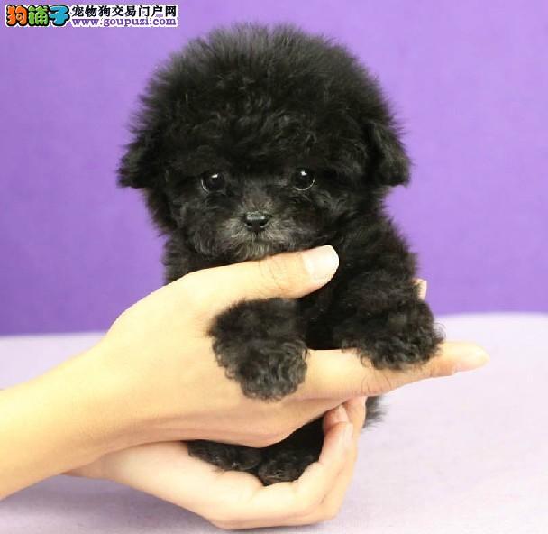 纯种犬繁殖基地出售茶杯犬幼犬疫苗做齐签订售后协议