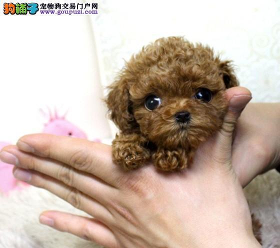 长春的泰迪幼犬多少钱一只,茶杯泰迪哪里买