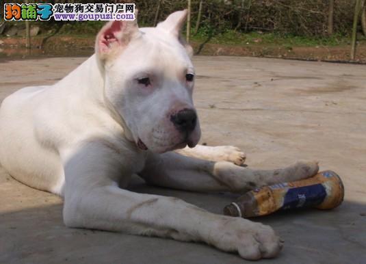 杜高犬舍出售高品质阿根廷大头宽头版大骨架杜高犬