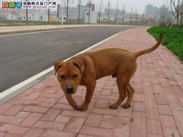 繁殖基地出售多种颜色的比特犬可直接视频挑选
