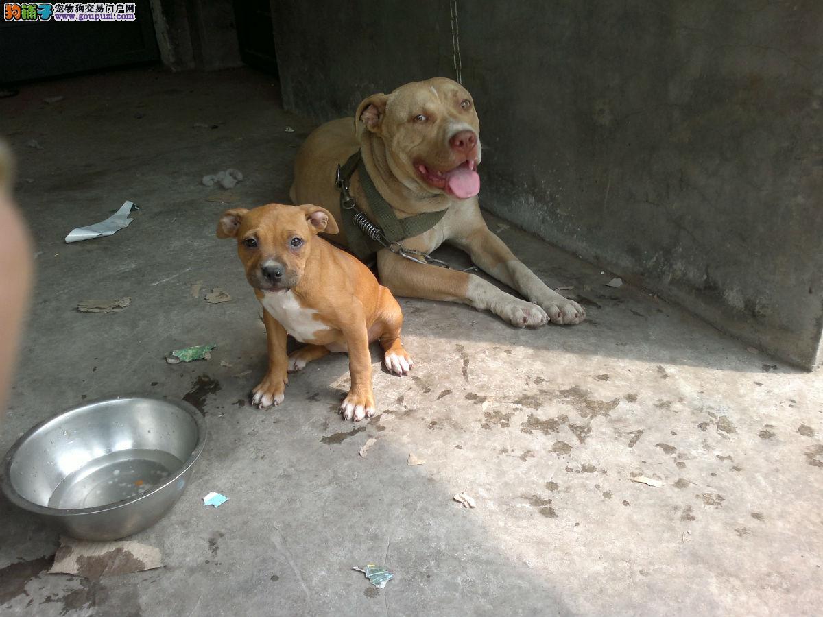 自家繁殖比特犬出售公母都有爱狗人士优先狗贩勿扰