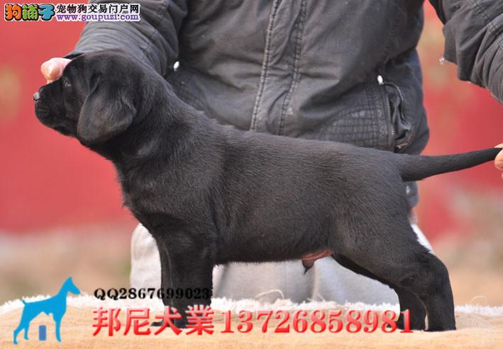 广东最大正规直销名犬养狗场 拉布拉多