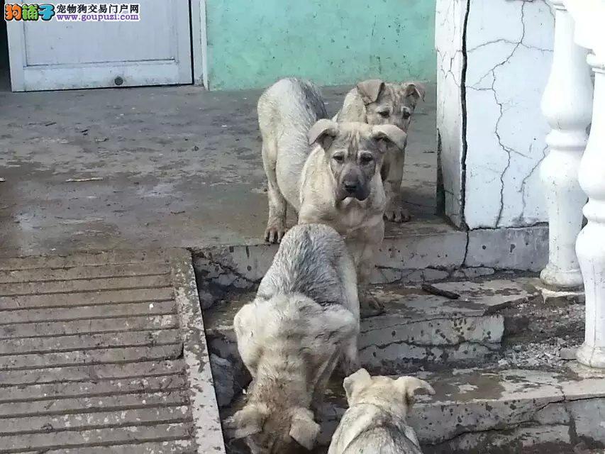 狼青幼犬出售可以签协议,售后保障,列性强