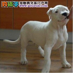 岳阳出售杜高犬颜色齐全公母都有办理血统证书