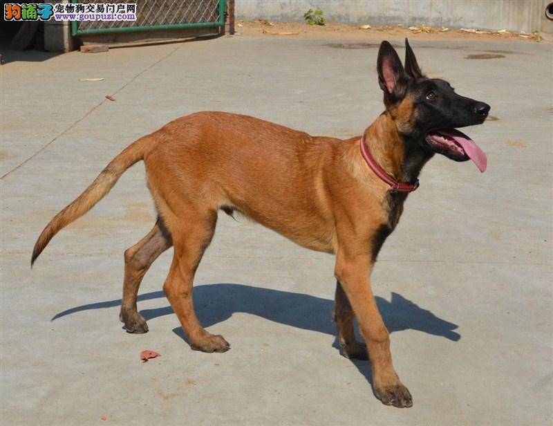 热销多只优秀的纯种马犬幼犬购犬可签协议