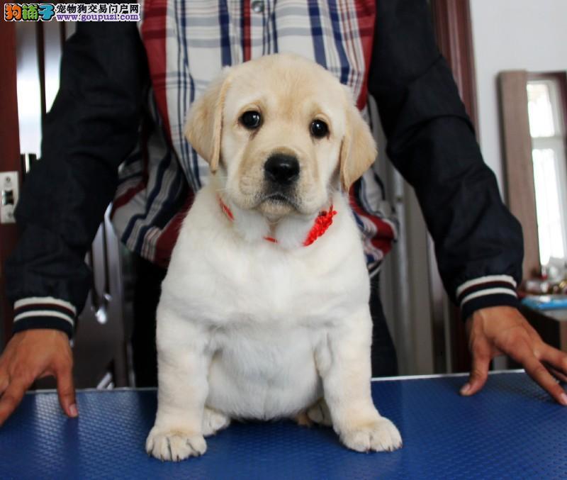 拉布拉多纯种幼犬 大头大骨架嘴宽可上门挑选狗狗