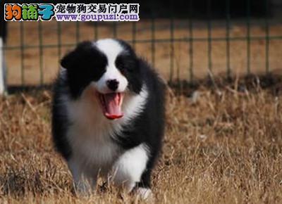北京地区最顶级边境牧羊犬 极高品质 精品幼犬待售