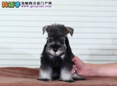 精品 雪纳瑞 保纯种健康 完美售后 CKU国际认证犬舍
