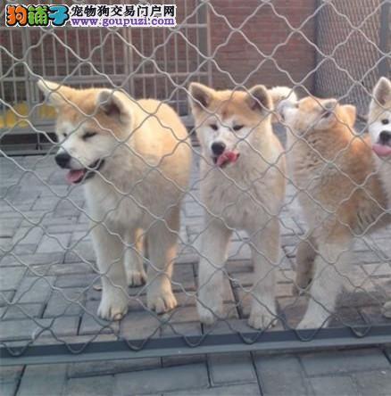 高品质 秋田幼犬出售疫苗做完 完美售后