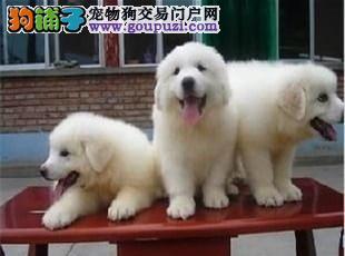 极品 大白熊 保证 纯种健康 CKU国际认证犬舍