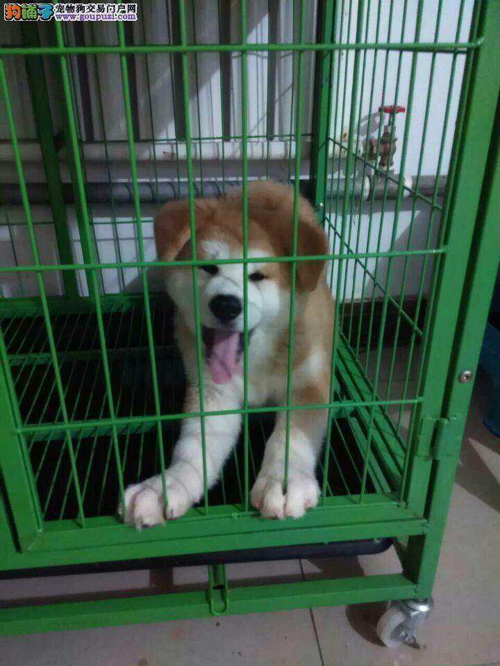 日系纯种秋田 保健康 北京最大秋田犬繁殖基地