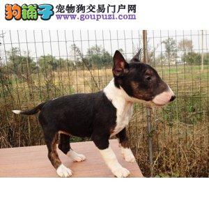 上海本地哪里牛头梗幼犬包纯种保健康可上门当面交易