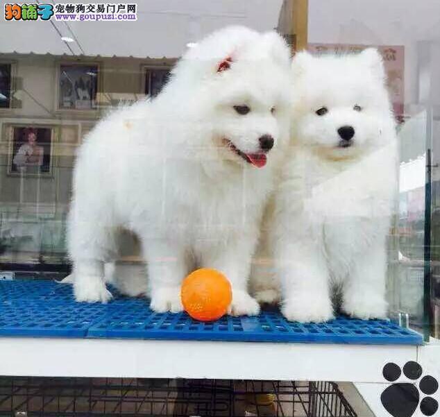 纯种 赛级 萨摩幼犬多只可选 正规犬舍出售 签订协议