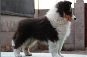 纯种 赛级 苏牧多只可选 正规犬舍出售 签订协议