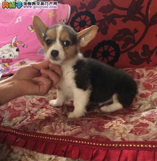 北京柯基犬舍出售柯基幼犬短粗腿火车头 三色两色都有
