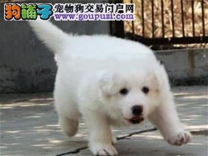 纯种 大白熊多只可选 正规犬舍出售 签订协议