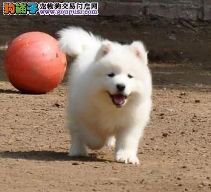 高品质 萨摩耶 质量三包 CKU国际犬舍
